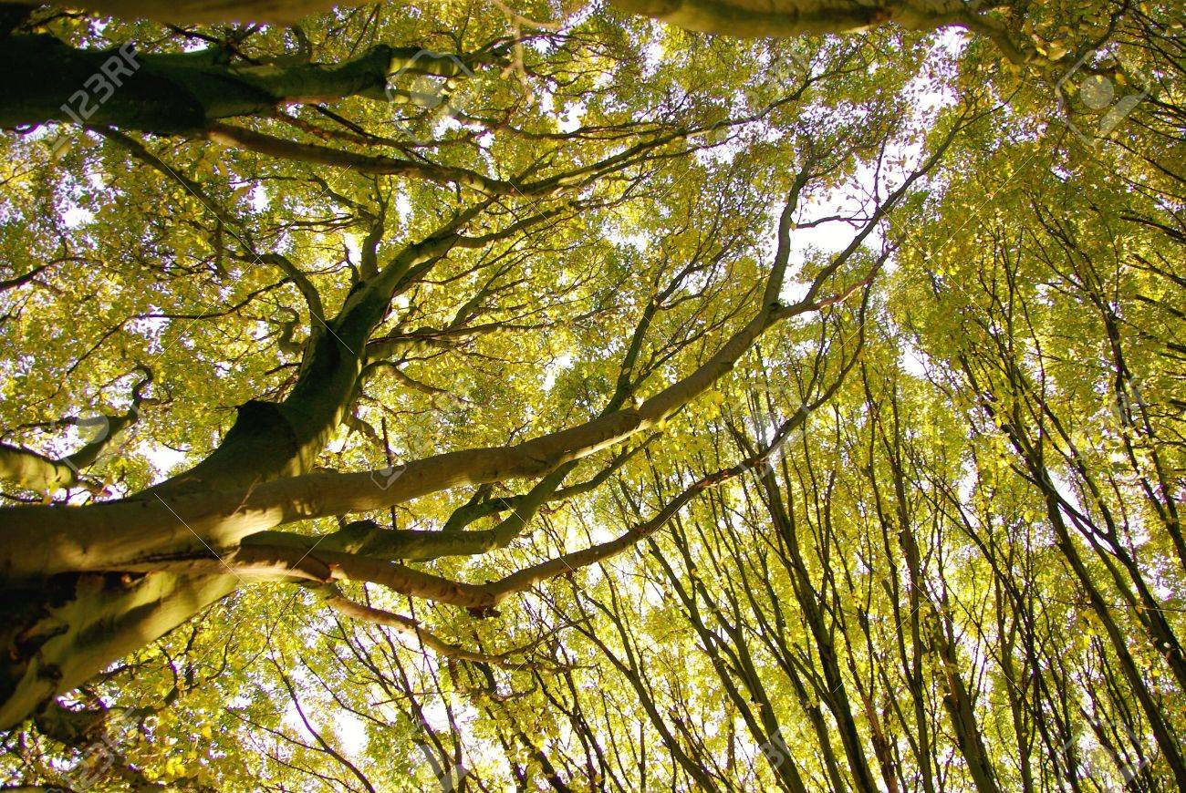 Tree canopies of the European hornbeam (carpinus betulus fastigiata) Stock Photo - 5896691