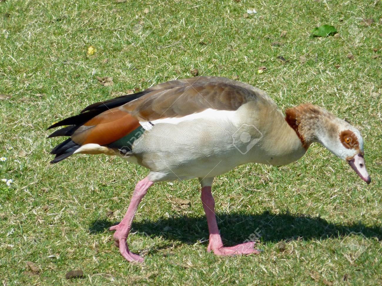 An Egyptian geese (Alopochen aegyptiacus) in a park Stock Photo - 7390013
