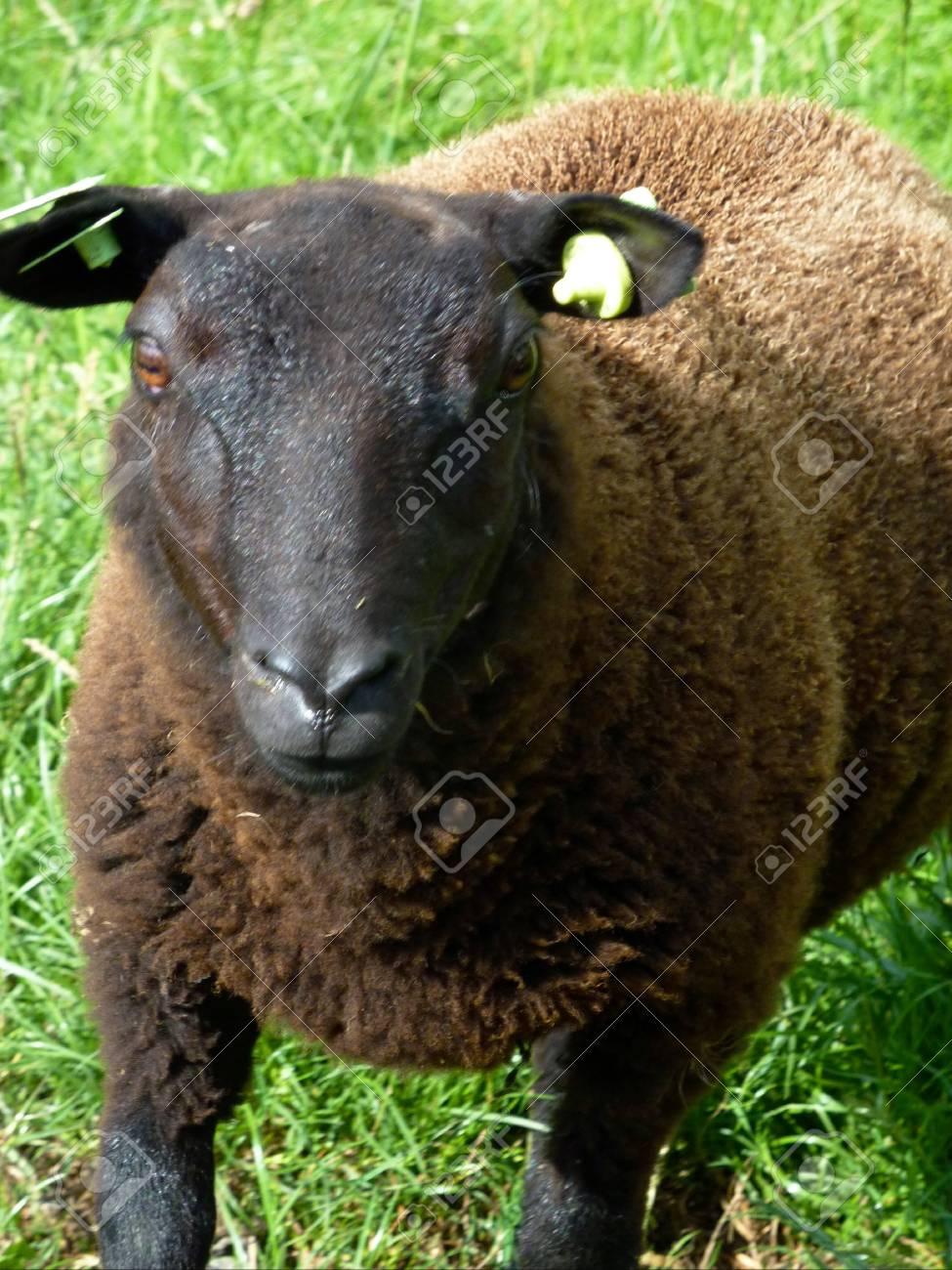 A portrait of a black sheep Stock Photo - 12408847