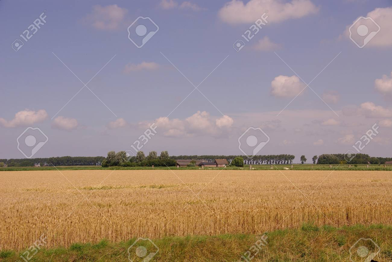 A wheat field and a blue sky with clouds Stock Photo - 12576459
