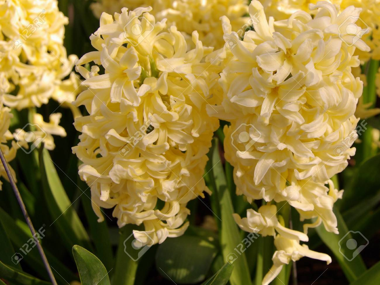 White Flowering Hyacinth Bulbs In Spring Stock Photo Picture And