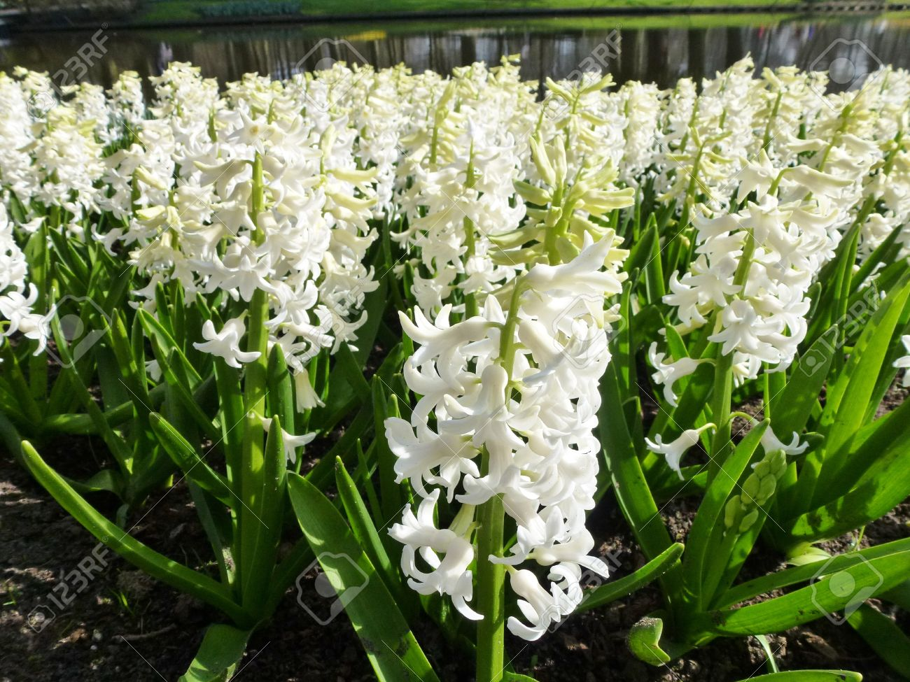 A Field With White Flowering Hyacinth Bulbs In Spring Stock Photo