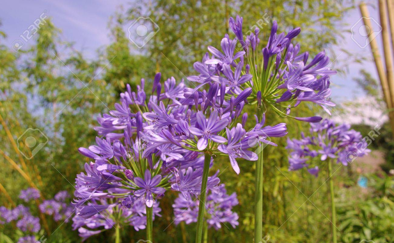 Blooming Blue Lily Of The Nile Agapanthus Africanus Flowers Stock