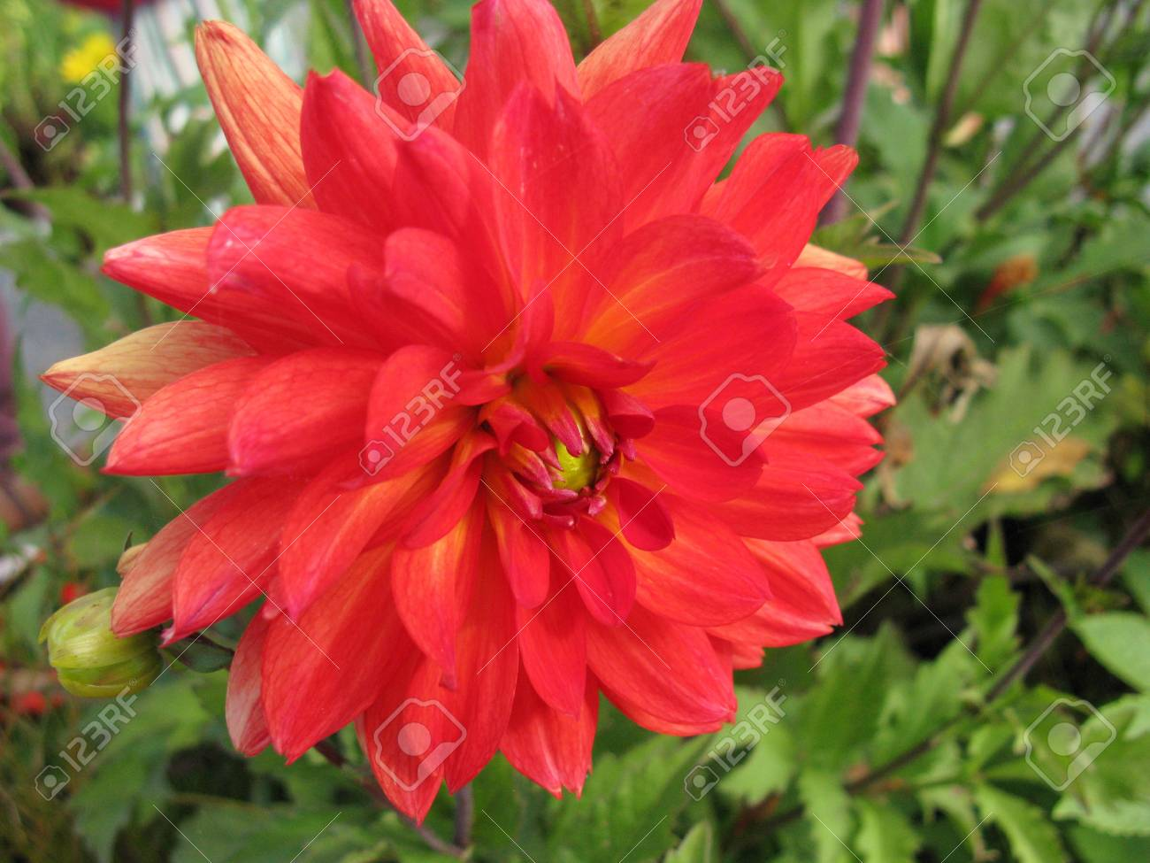 A close up of a red blooming dahlia flower Stock Photo - 14709612