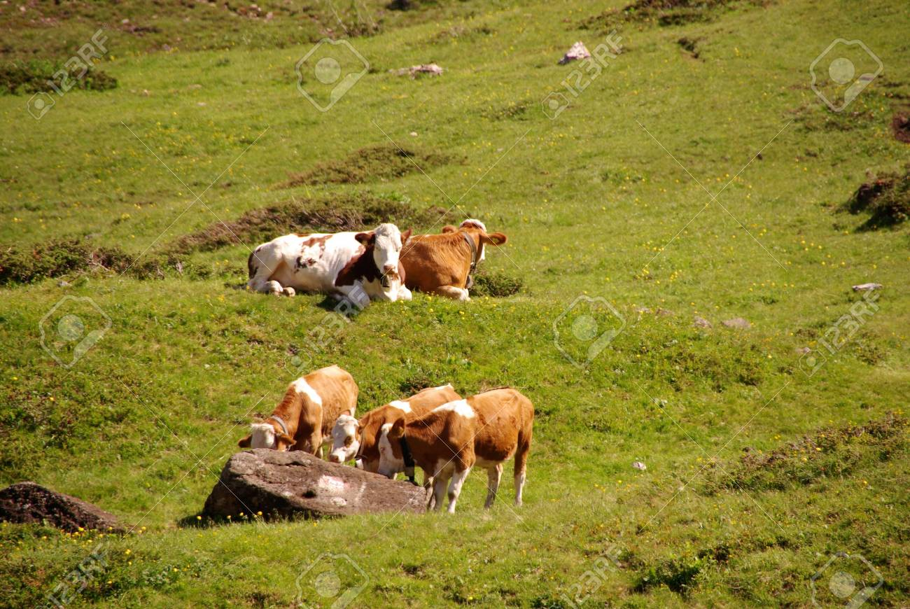 Cows grazing in the Italian mountains Stock Photo - 16718631