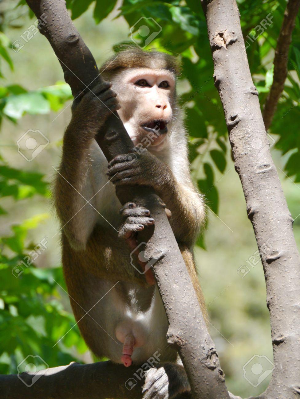 Toque Macaque monquis also called rilewa or rilawa monkey in Sri Lanka Stock Photo - 17819569