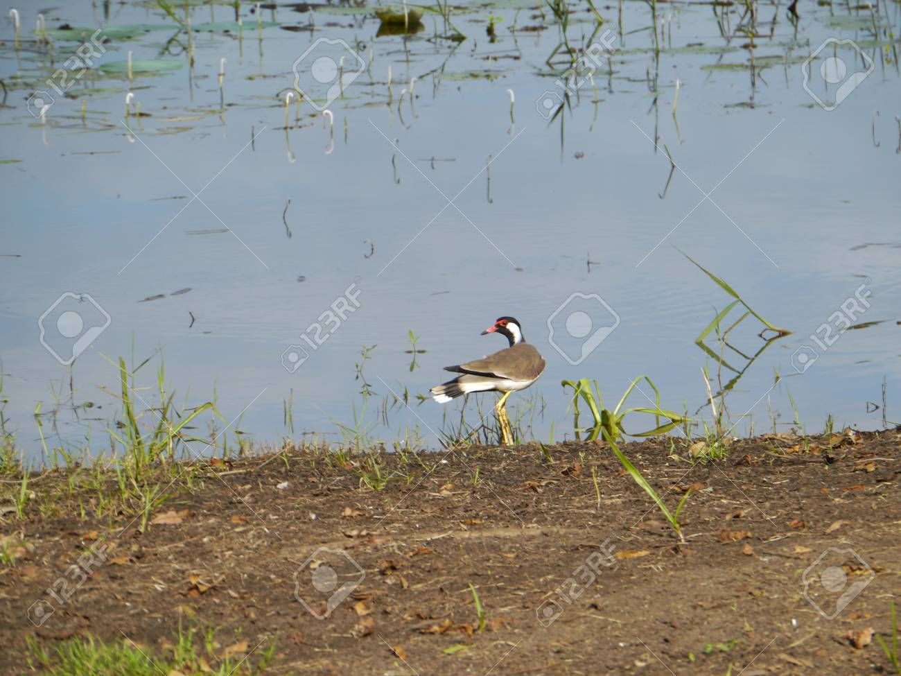 A red wattled lapwing  Vanellus indicus  at the waterfront of a lake in Sri Lanka Stock Photo - 18006009