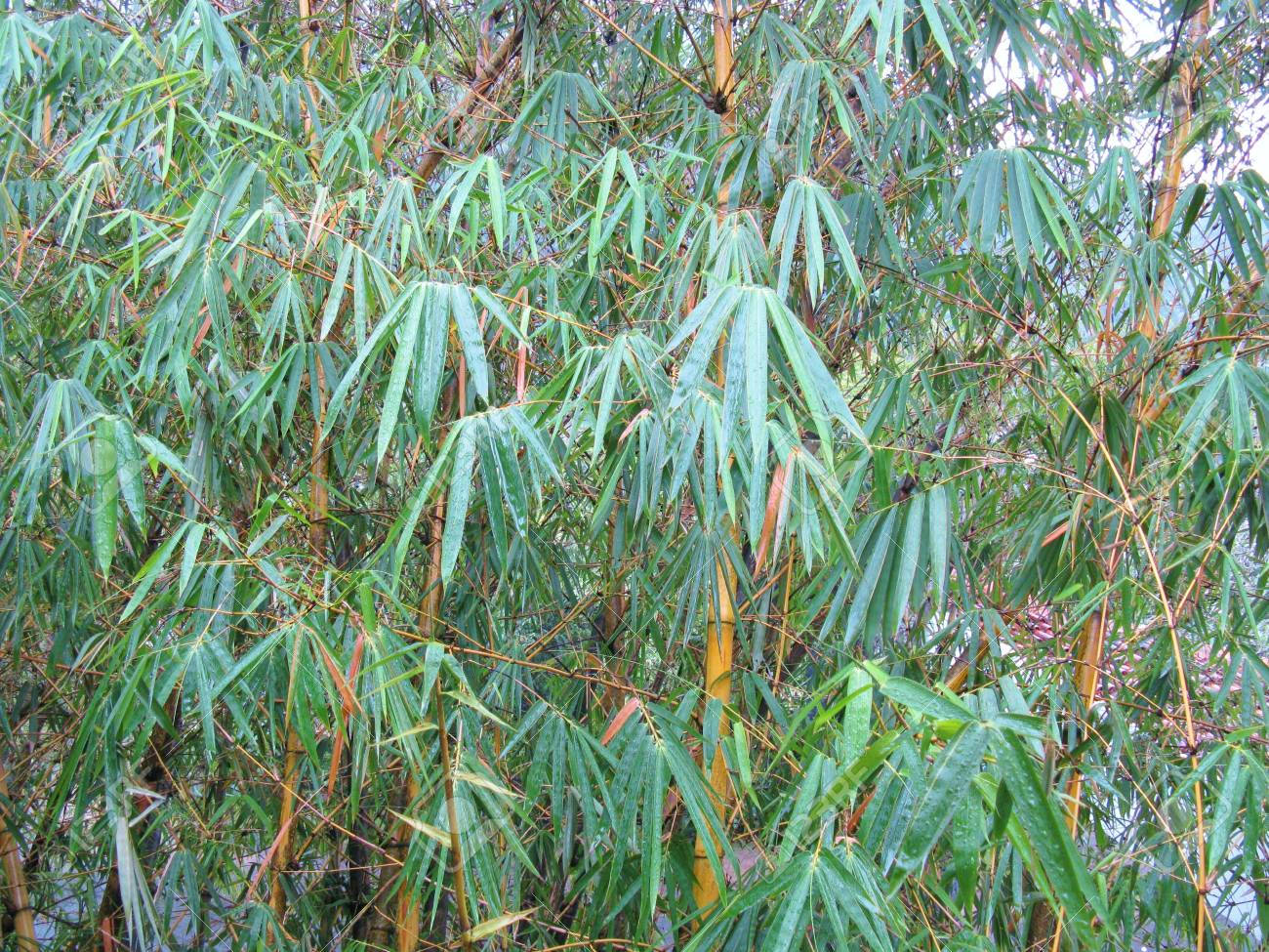 Bamboo leaves with rain drops Stock Photo - 18615499