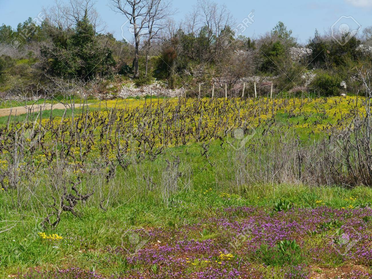 A small scale wine vineyard in Croatia with yellow flowering hawkweed plants in spring Stock Photo - 19220631