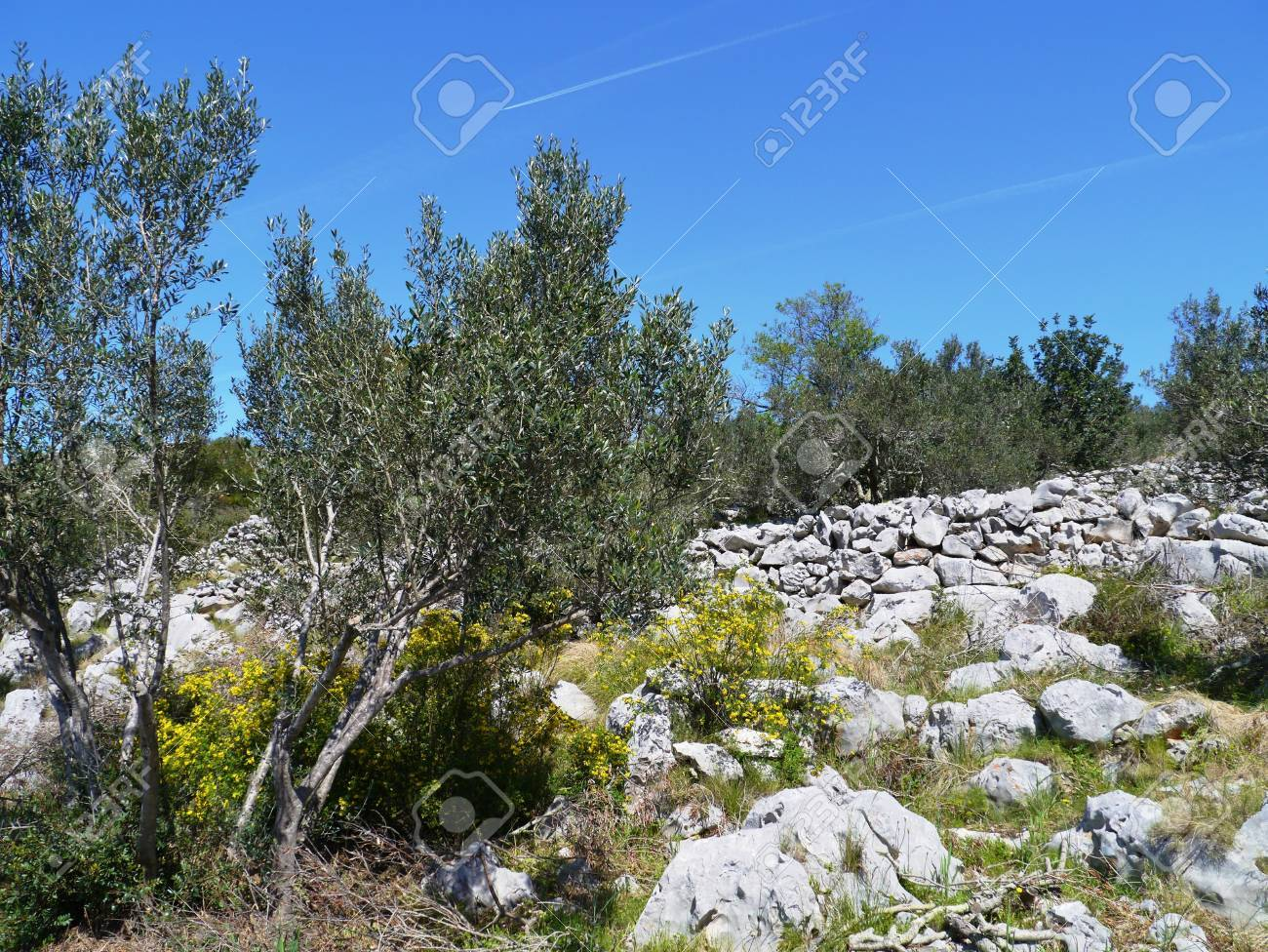 a landscape of dry stone walls and spruce trees in Croatia Stock Photo - 19220630