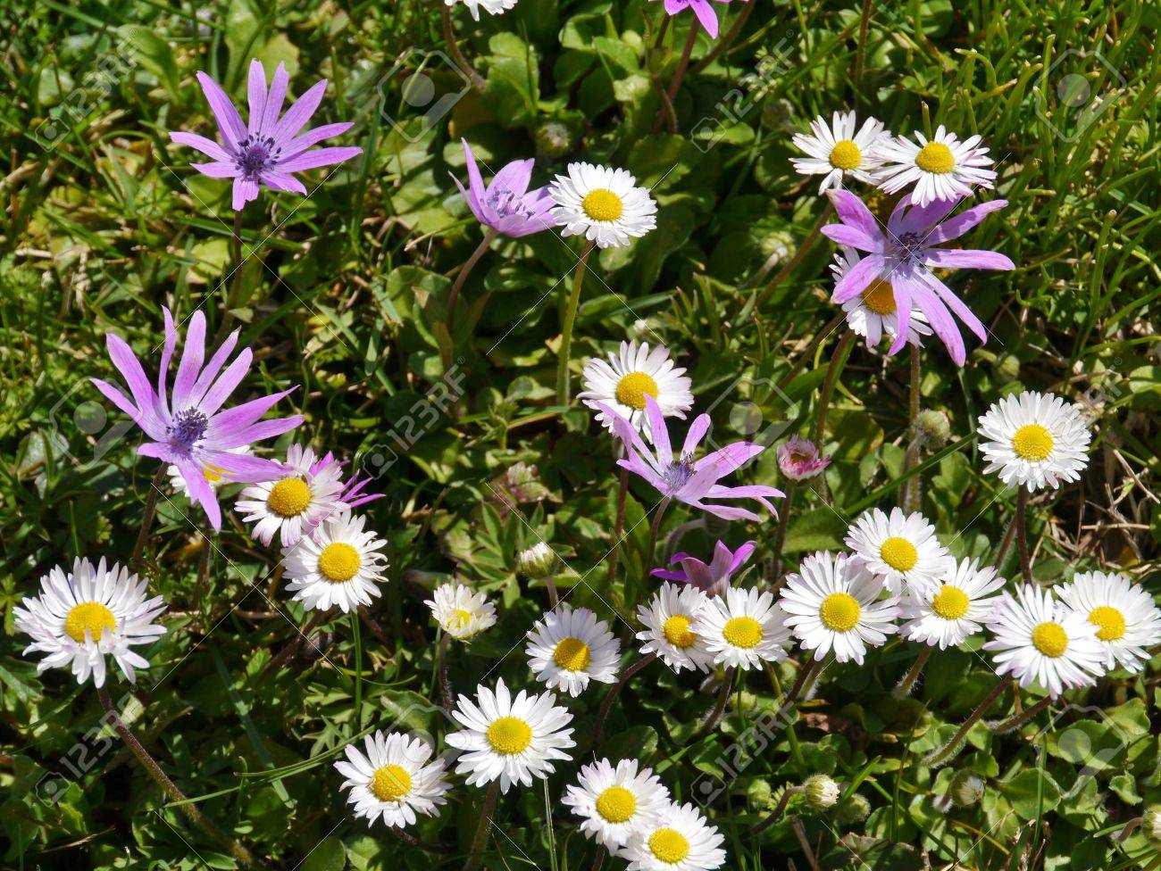 Grass with anemone and daisy flowers in pastel colors in a park in spring Stock Photo - 19220682
