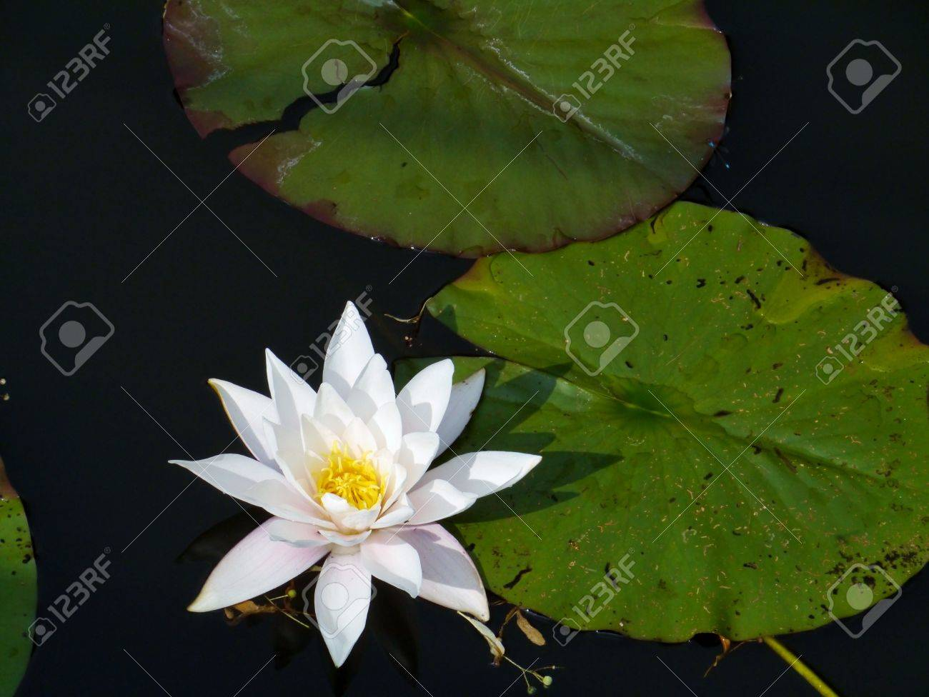 White Flowering Water Lily Plant Stock Photo Picture And Royalty