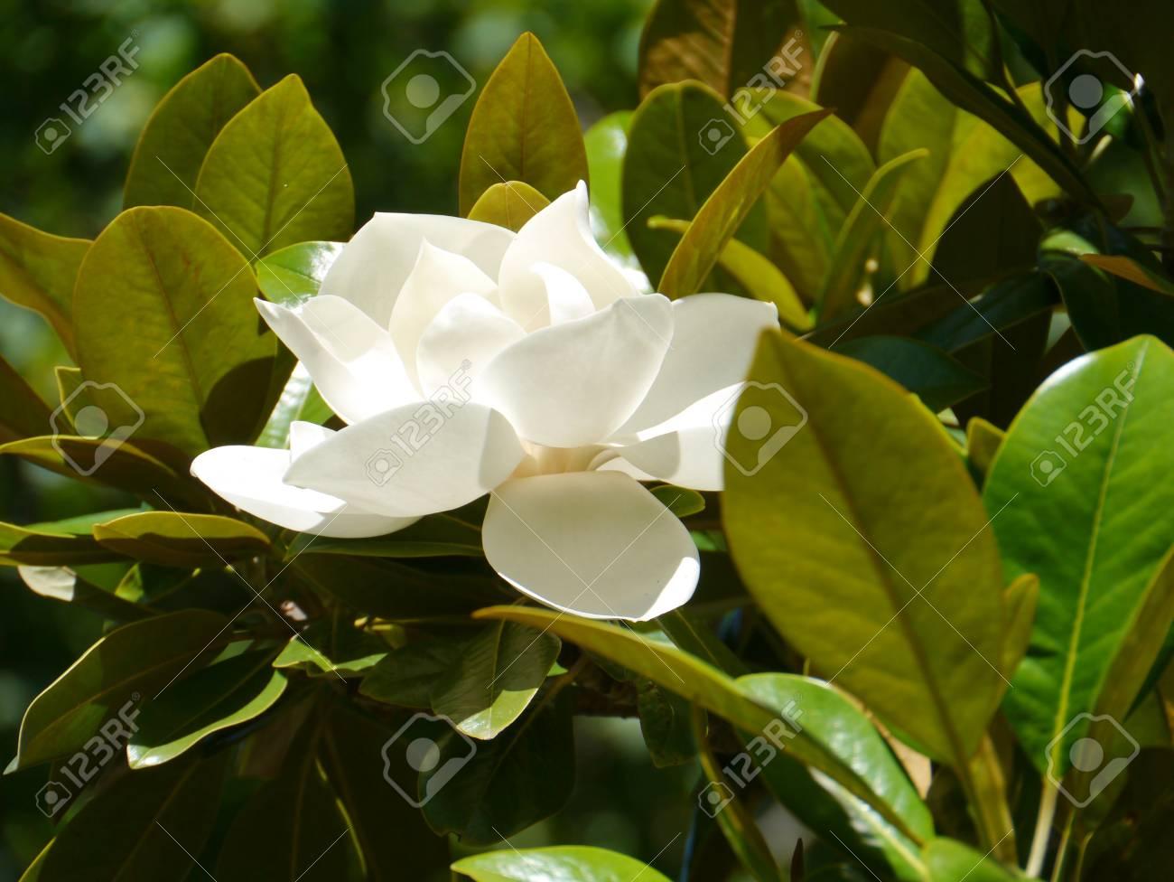 A white flower in a magnolia tree stock photo picture and royalty a white flower in a magnolia tree stock photo 24198036 mightylinksfo