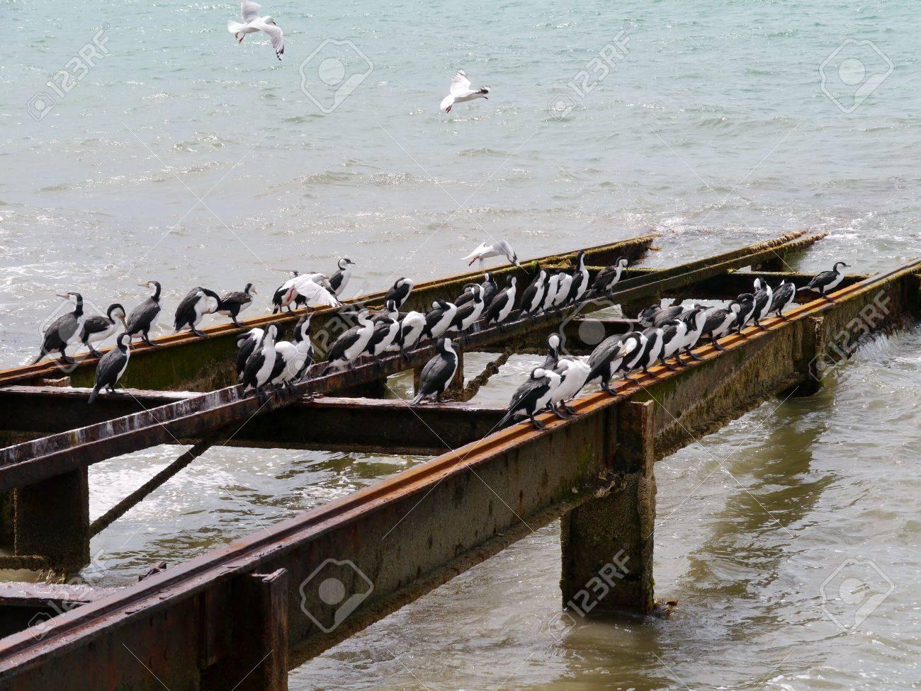Australian Pied Cormorants  Phalacrocorax varius  also known as the Pied Cormorant or Pied Shag, Stock Photo - 24232335