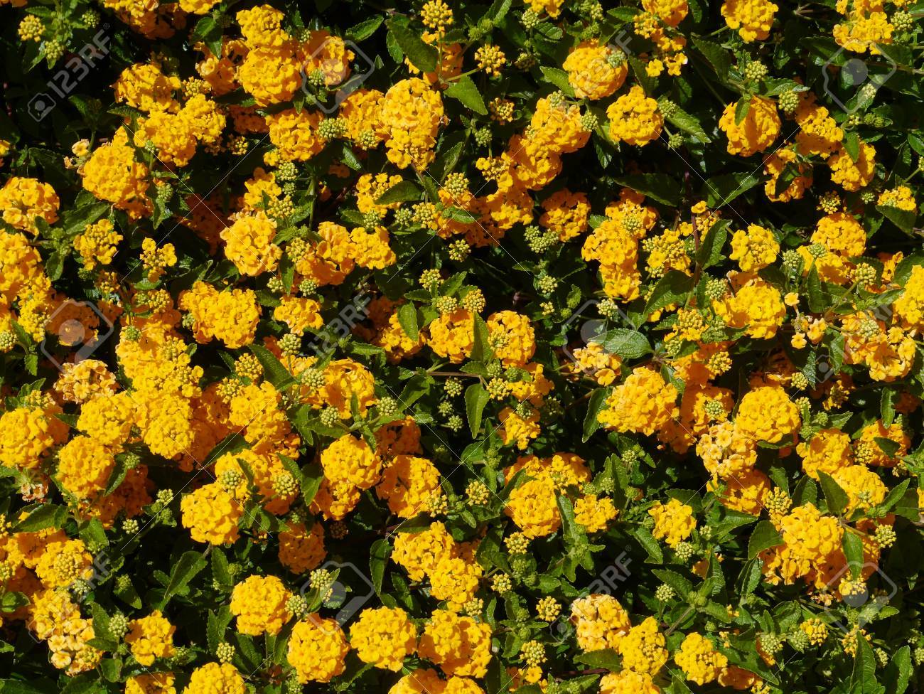 Orange Blooming Flowers In Australia Stock Photo Picture And