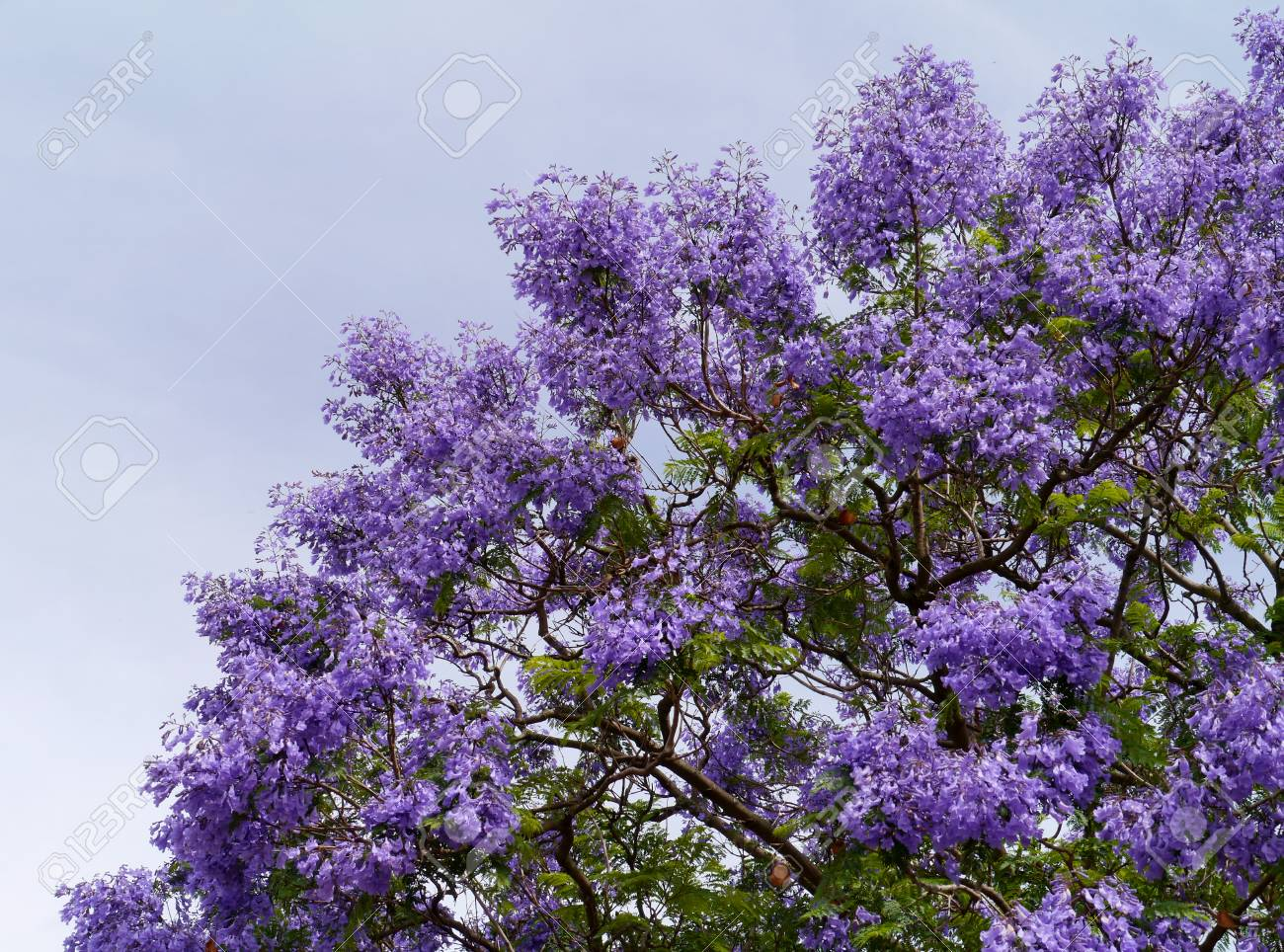 The Burst Of Colour Of The Jacaranda Tree In Spring Stock Photo ...