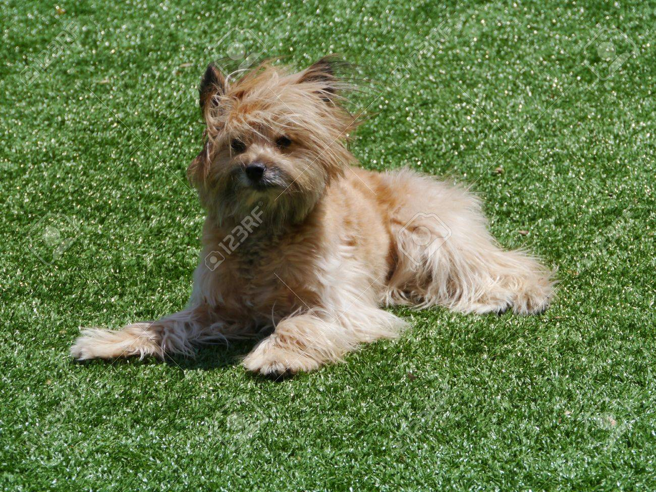 An Enthusiastic Australian Terrier With Long Hair Stock Photo