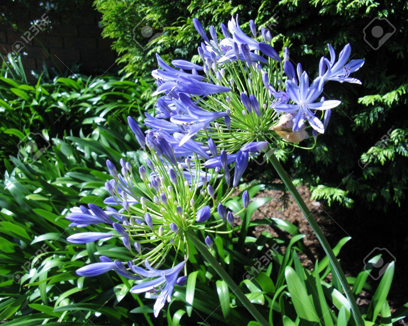 A closeup of a agapanthus or blue lily of the nile agapanthus a closeup of a agapanthus or blue lily of the nile agapanthus africanus in a park izmirmasajfo Images