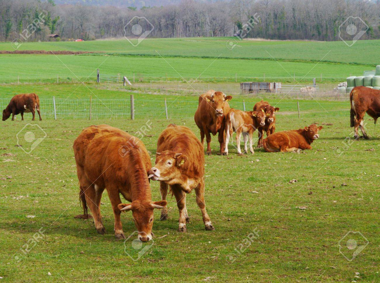 Rust Red Cows Playing In A Meadow In Spring Stock Photo, Picture And ...