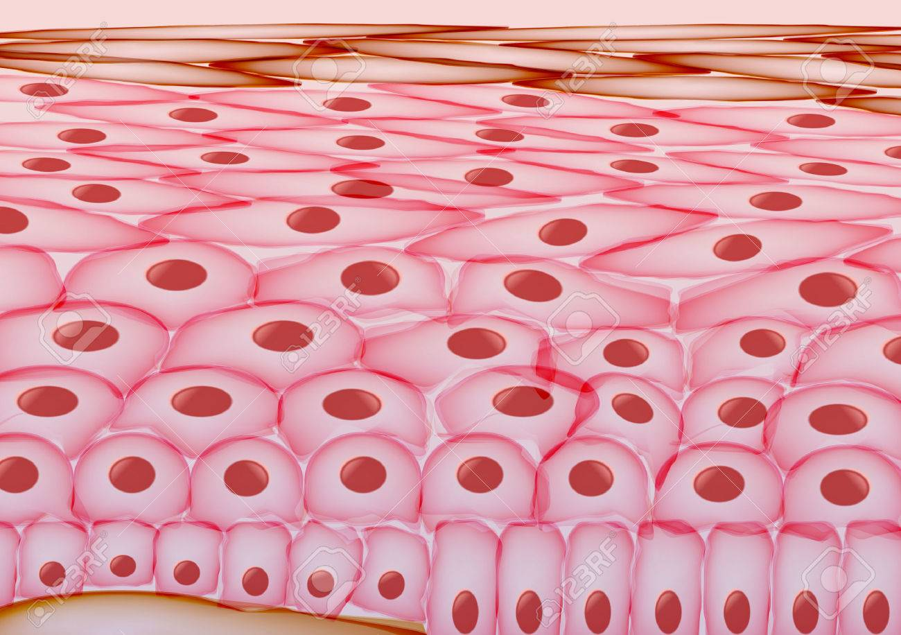 Skin Cells, Layers - Vector Illustration - 56142379