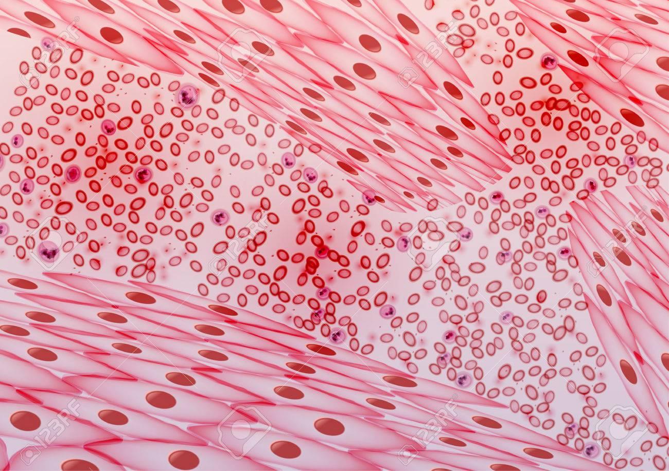 Los Vasos Sanguíneos, Venas Y Las Arterias - Ilustración Vectorial ...