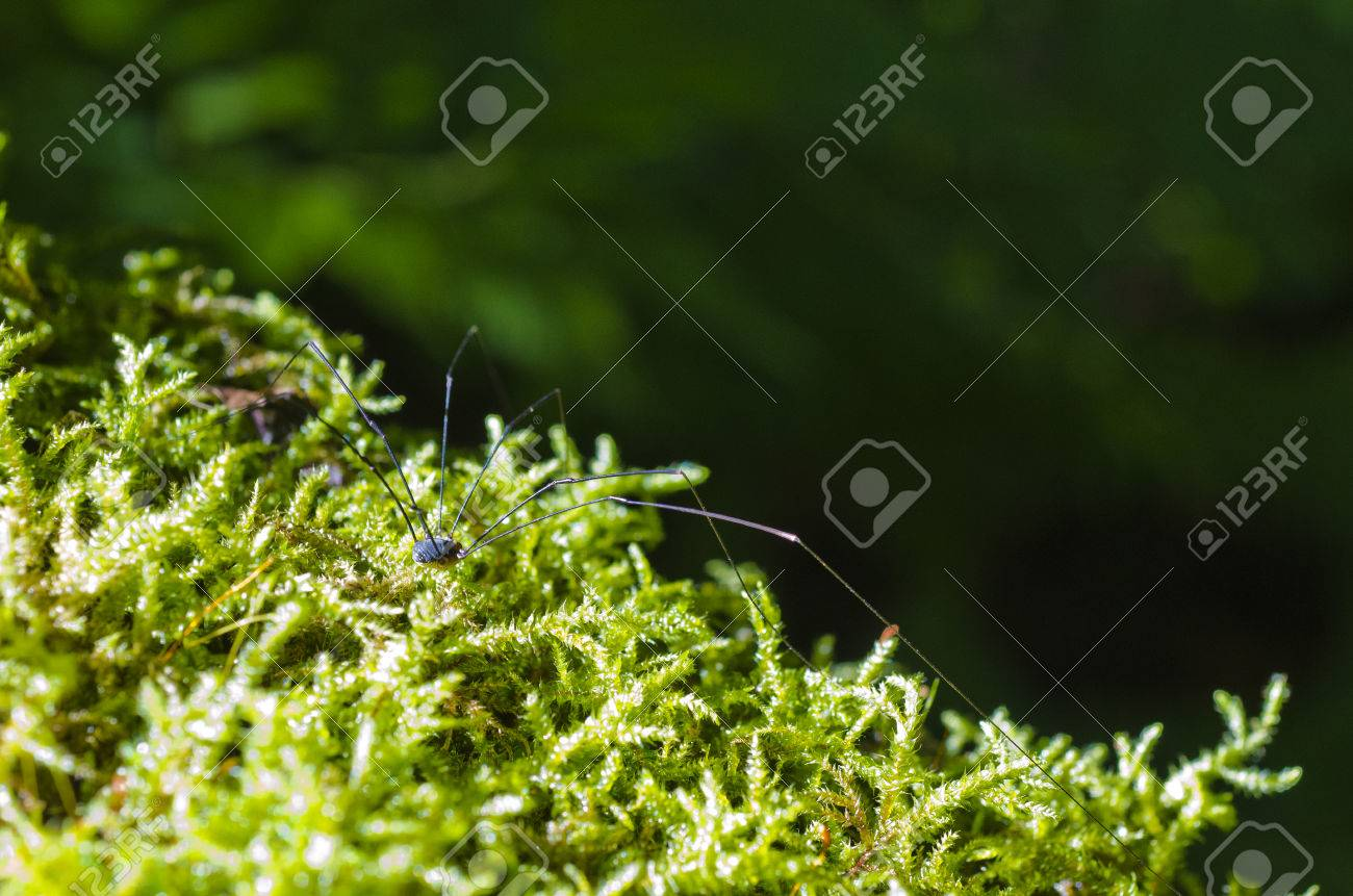 Daddy long-legs spider in forest moss Stock Photo - 24591606