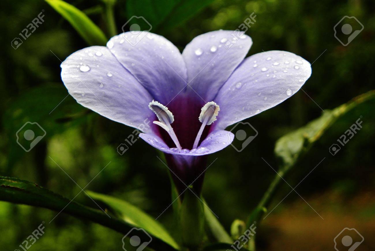 nelu flower Stock Photo - 15687972