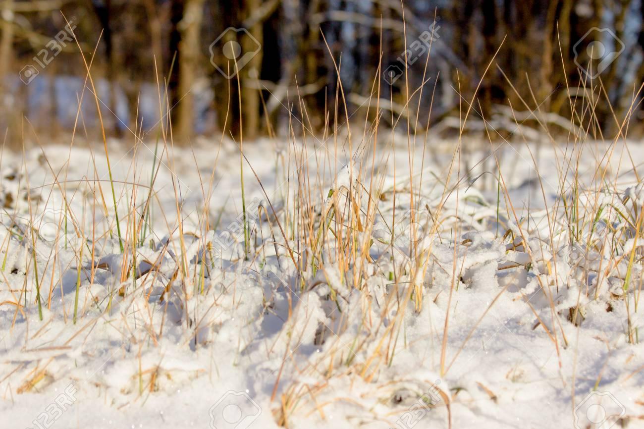 Ornamental grasses in winter in the snow stock photo picture and ornamental grasses in winter in the snow stock photo 90005348 workwithnaturefo