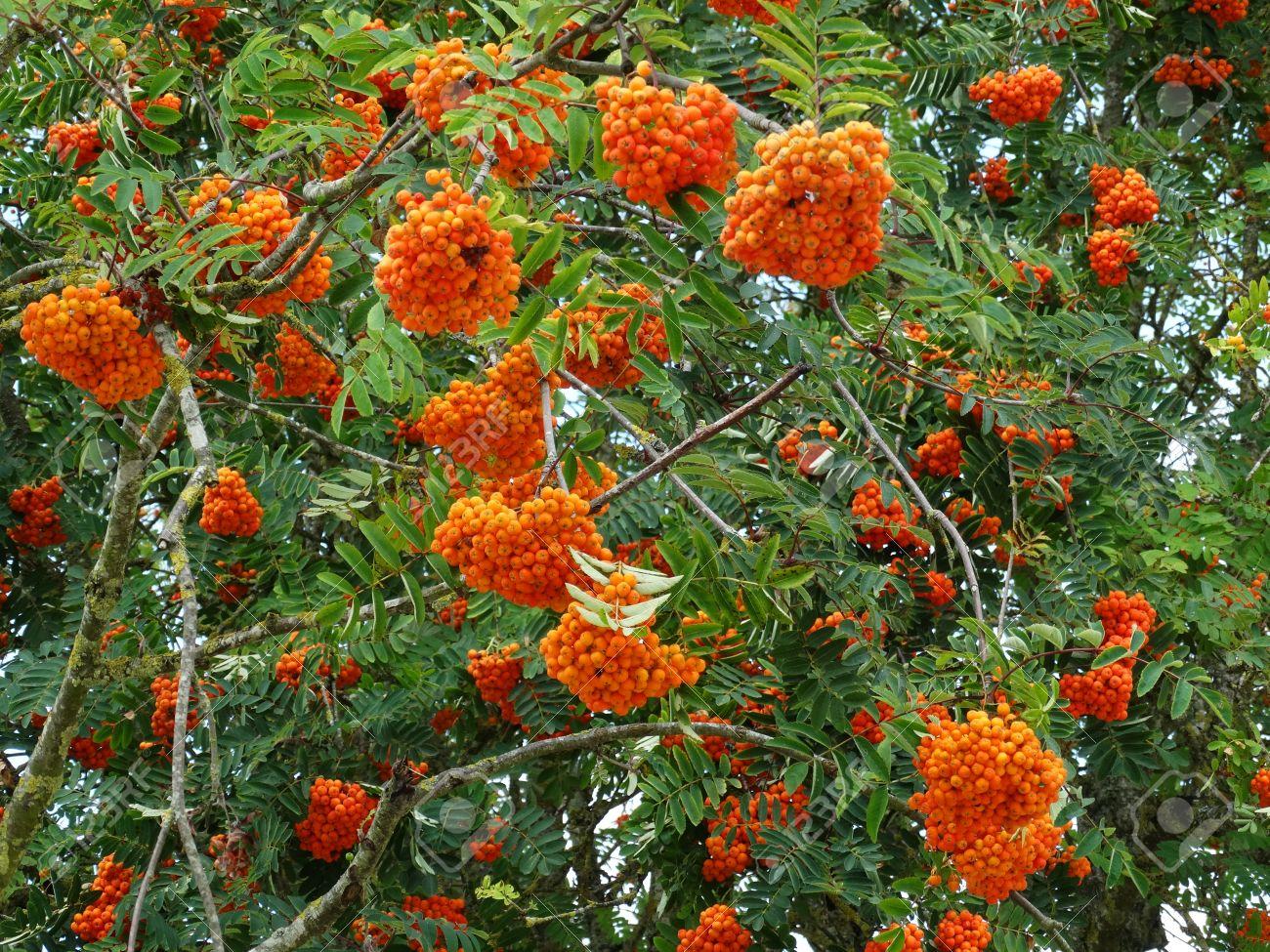Clusters Of Orange Berries Of A Rowan Tree The Sorbus Aucuparia