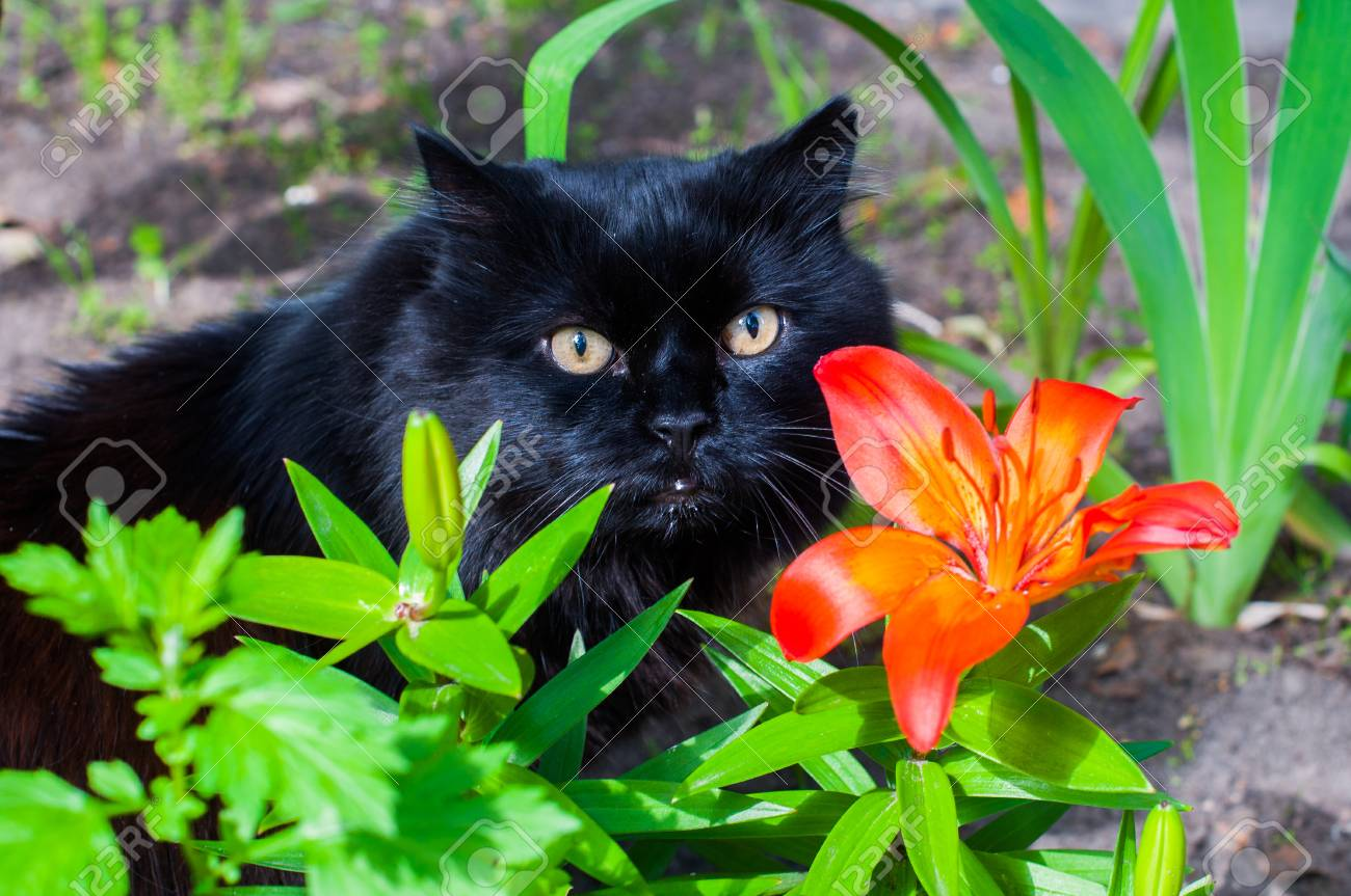 Black Cat Is Sitting Near Orange Lily Stock Photo Picture And
