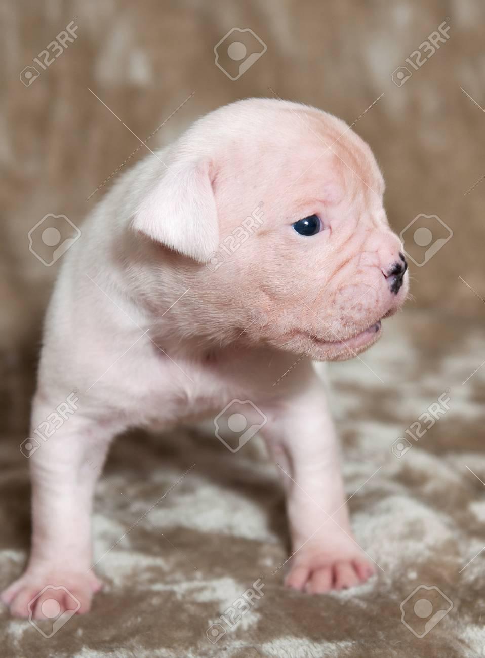 Lustige Weisse Amerikanische Bulldogge Welpen Auf Hellem Hintergrund Lizenzfreie Fotos Bilder Und Stock Fotografie Image 84726676