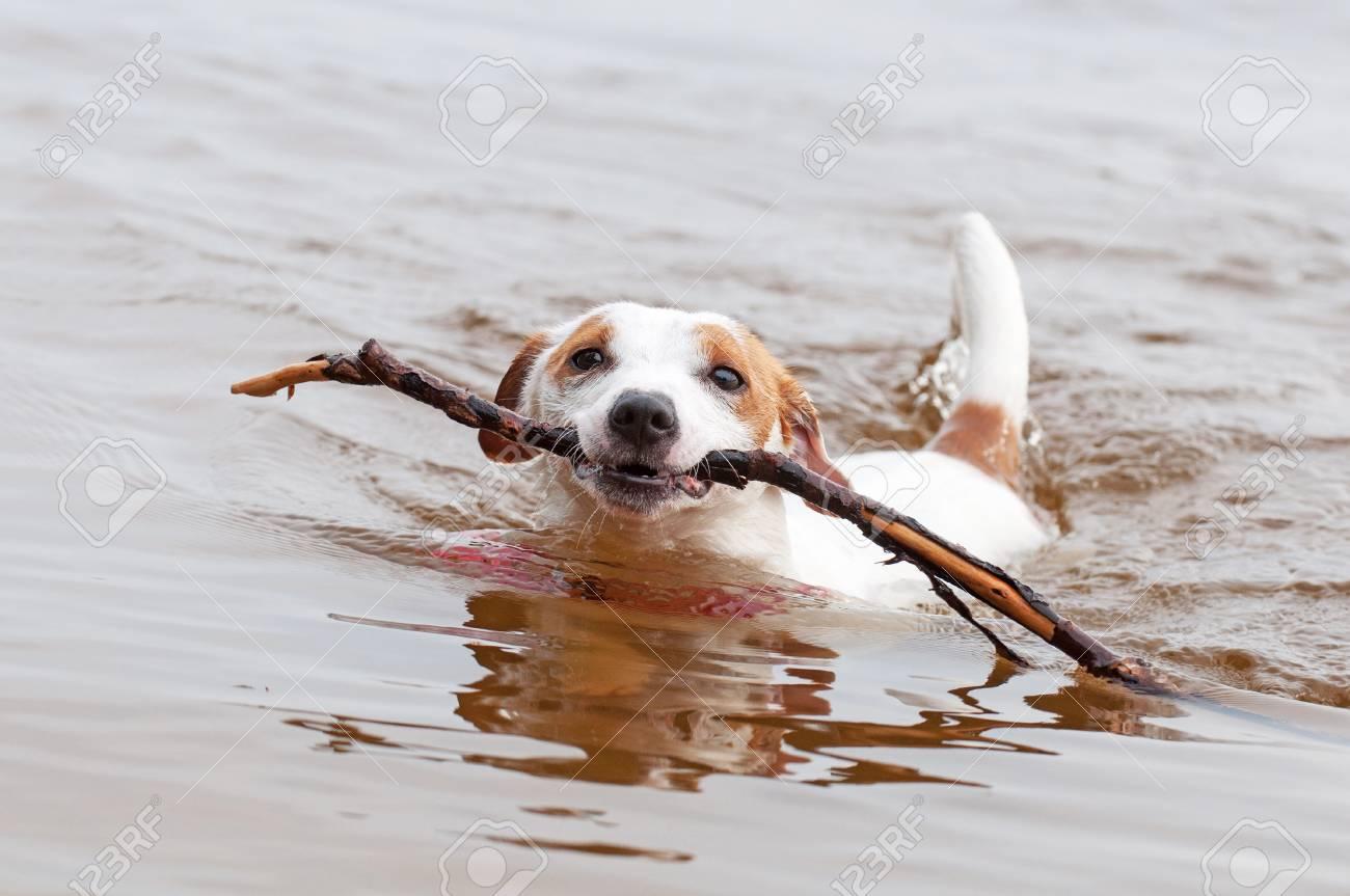 El Perro De Jack Russell Terrier Está Nadando Con Un Palo Grande En ...