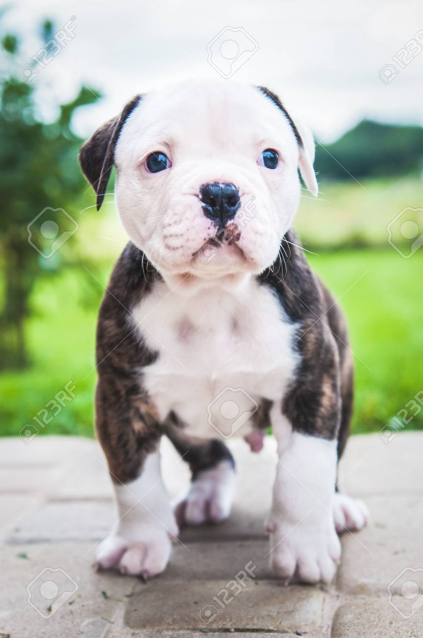 Funny Nice American Bulldog Puppy On Nature Stock Photo Picture And