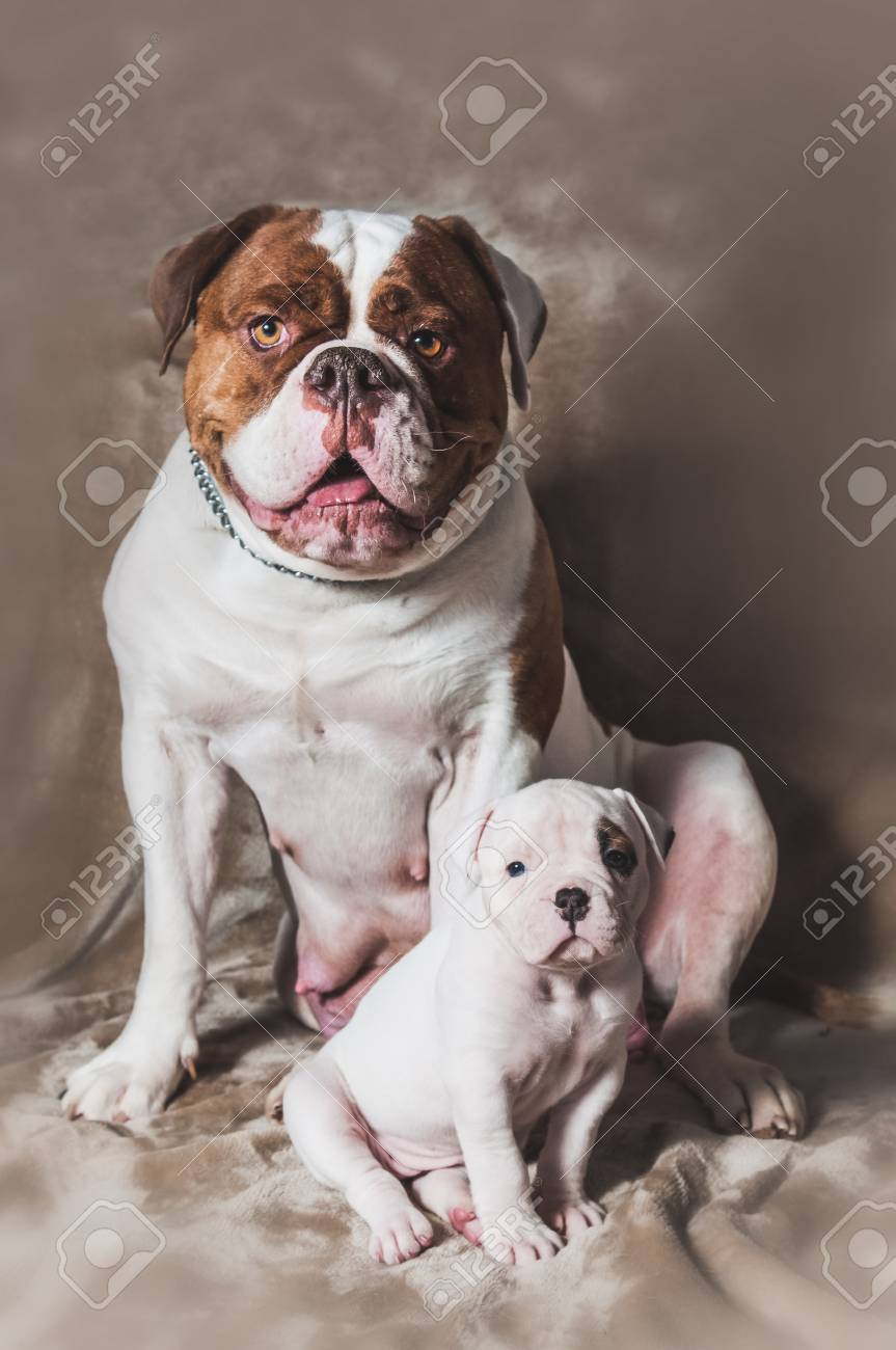 Funny American Bulldog Puppy With Mother On Light Background