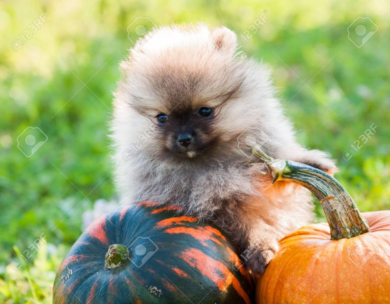 funny pomeranian dog close up and pumpkin halloween background