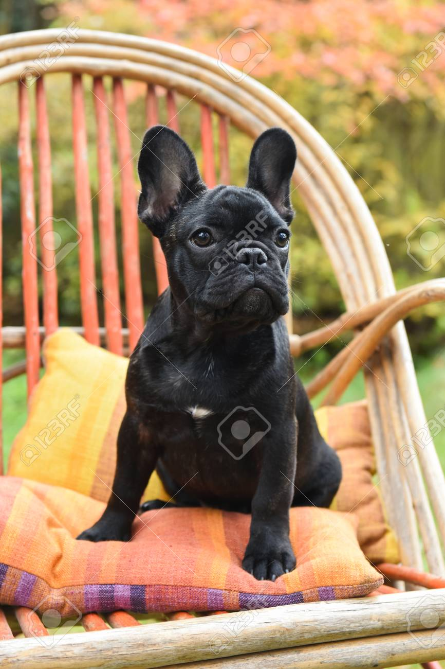 Funny Black French Bulldog Puppy Close Up On Chair On Autumn Stock Photo Picture And Royalty Free Image Image 88154098