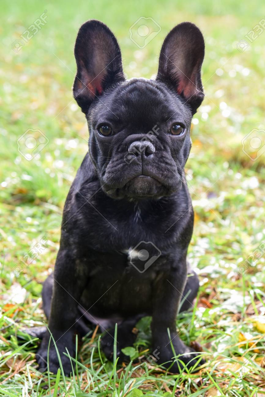 Beautiful Black French Bulldog Puppy Close Up Stock Photo Picture And Royalty Free Image Image 88707837