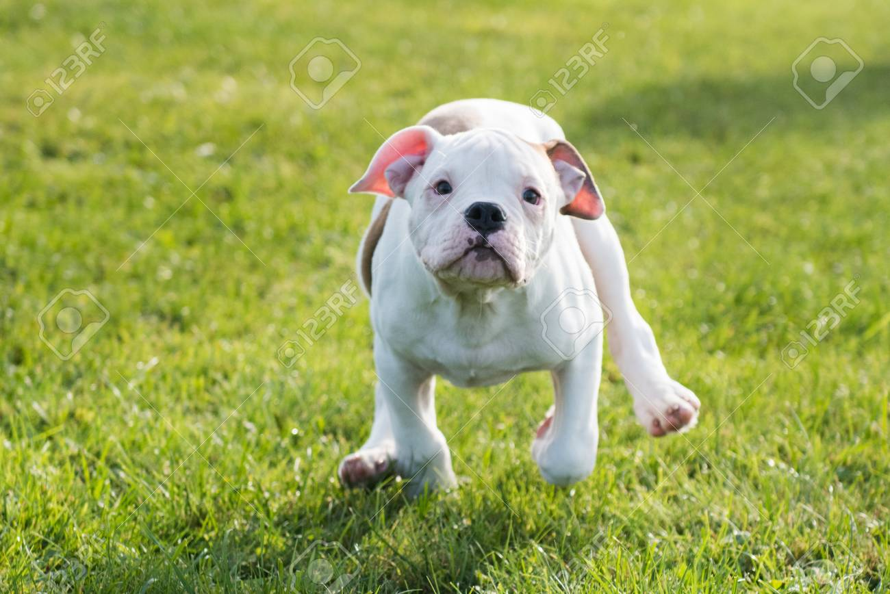 american bulldog puppy picture Funny Nice White American Bulldog Puppy Is Running On Nature Stock ...