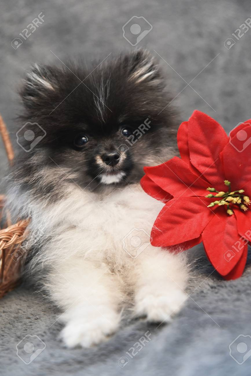 Pomeranian Spitz Dog Puppy And Flower, Christmas Card Or Background ...