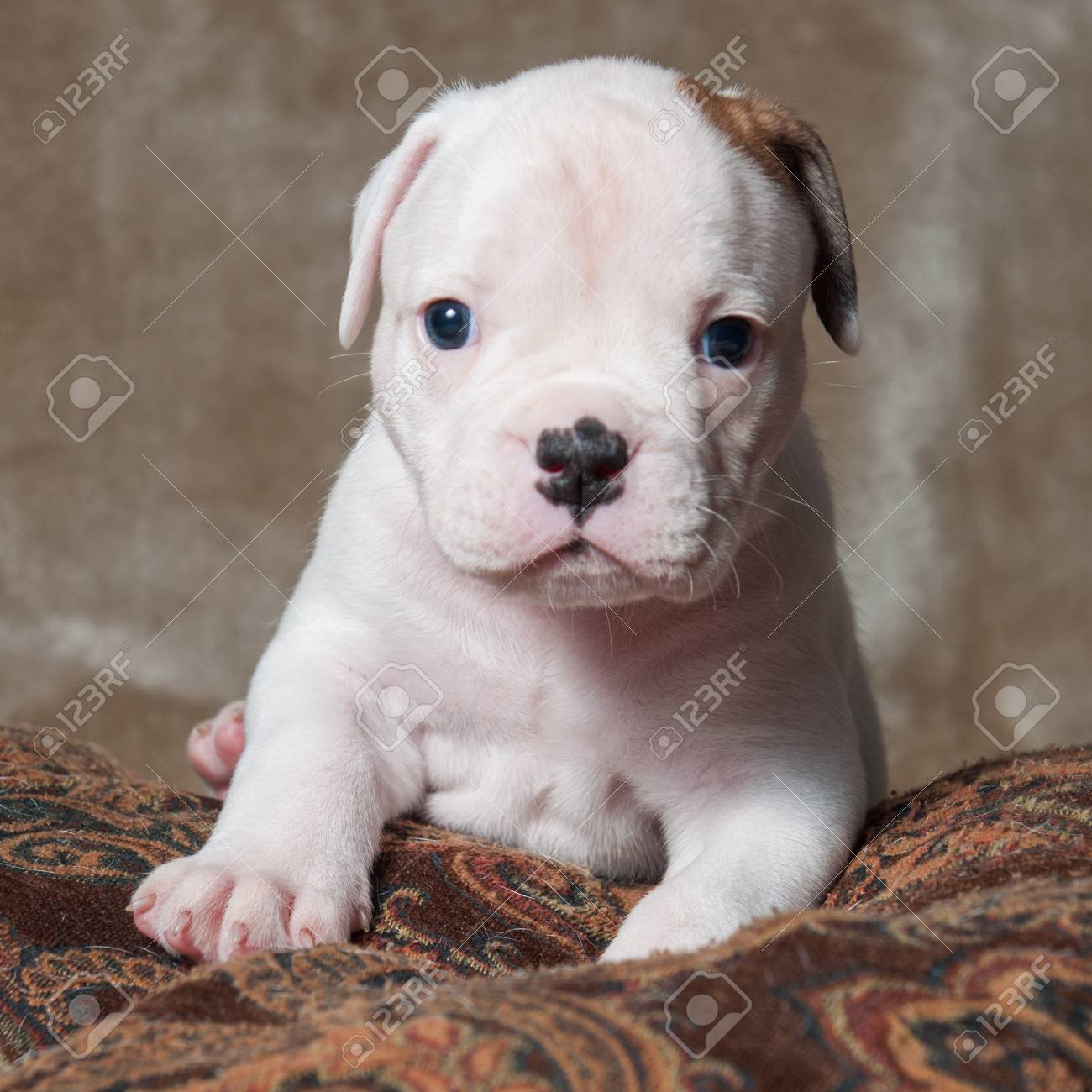 Funny Small Red White Color American Bulldog Puppy On Light