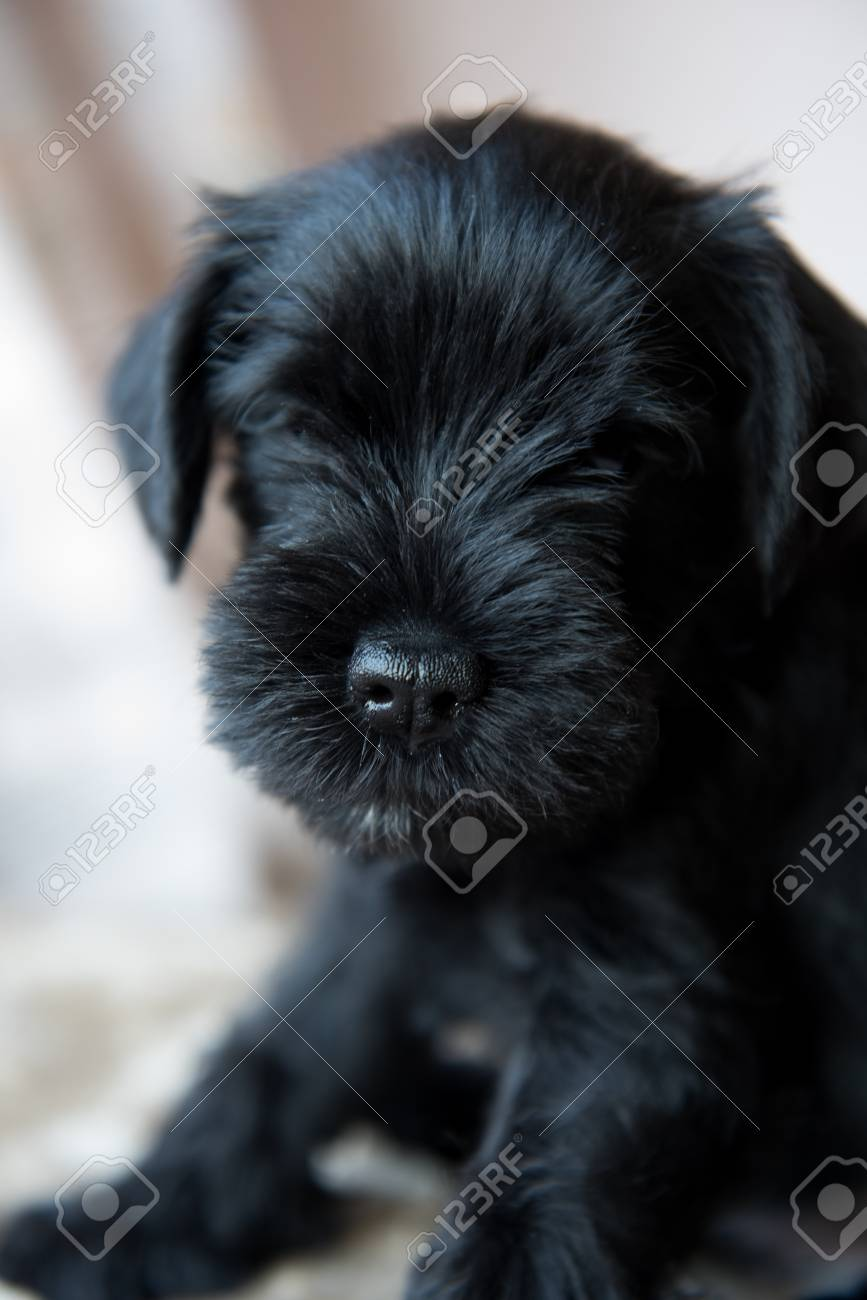 Funny Cute Miniature Schnauzer Puppy Dog Portrait Stock Photo Picture And Royalty Free Image Image 99795831
