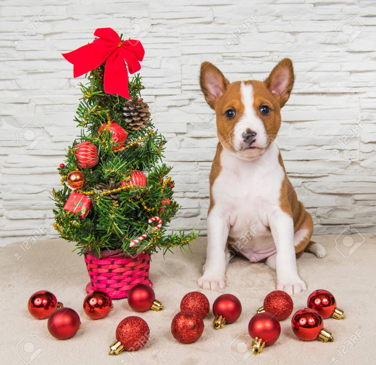 Christmas Dog.Funny Basenji Puppy Dog With New Year Christmas Tree With Gifts