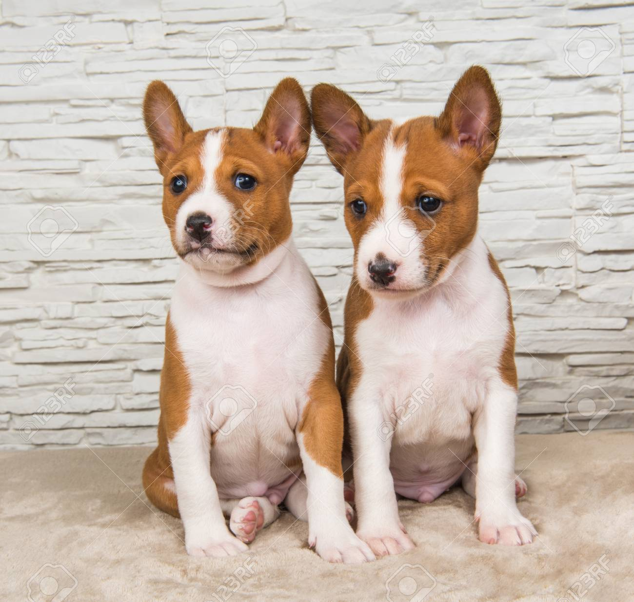 Two Funny Small Babies Basenji Puppies Dogs On White Wall