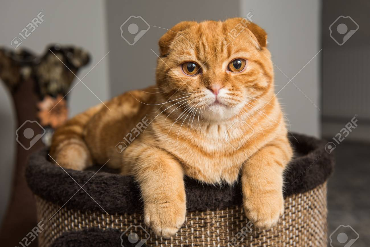 Funny Red Scottish Fold Cat In Cat House Inside Banque D Images Et Photos Libres De Droits Image 115475323