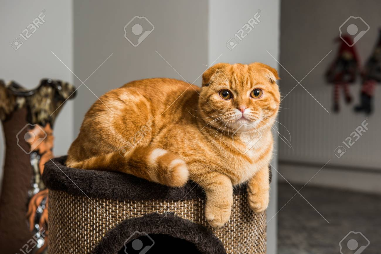 Funny Red Scottish Fold Cat In Cat House Inside Stock Photo Picture And Royalty Free Image Image 115475329