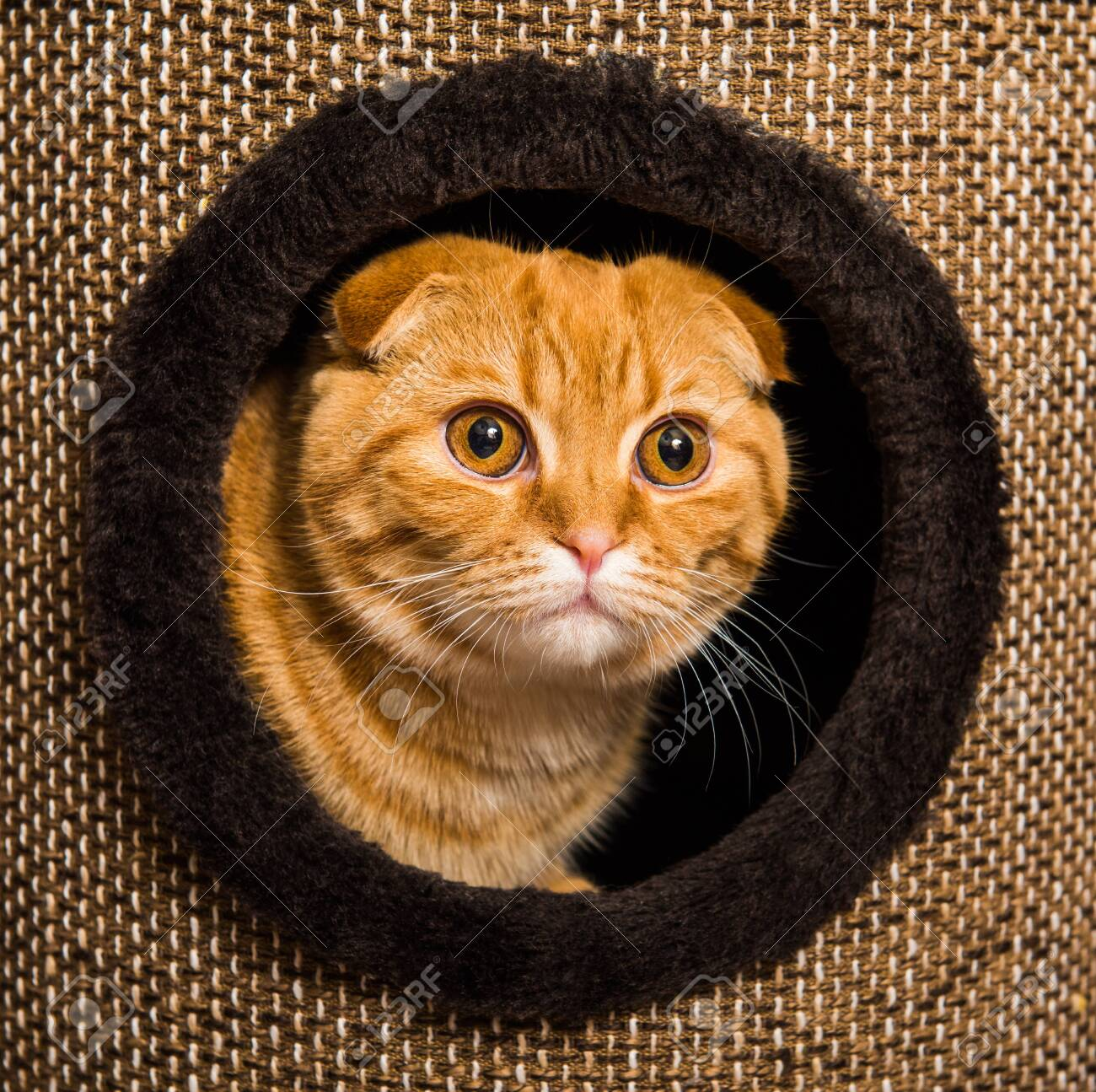 Funny Red Scottish Fold Cat In Cat House Inside Cat Tree With Stock Photo Picture And Royalty Free Image Image 119495539