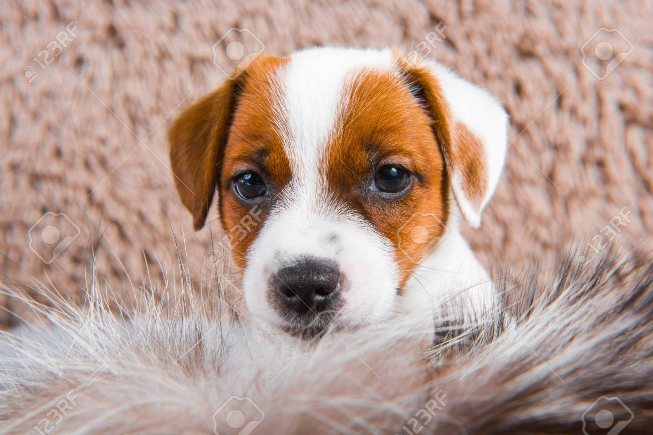 Cute Funny Jack Russell Terrier Dog Puppy Is Playing In Fur On Stock Photo Picture And Royalty Free Image Image 119491866