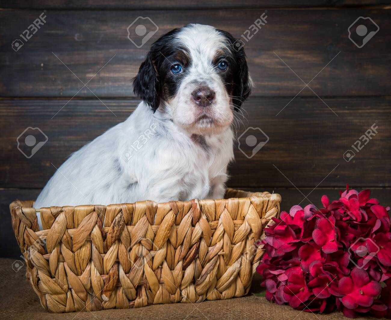 Cute English Setter Puppy Dog With Blue Eyes Stock Photo Picture And Royalty Free Image Image 132675334