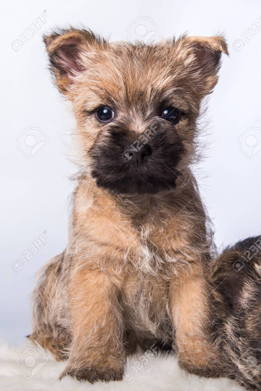 Cairn Terrier Puppy Dog On White Stock Photo Picture And Royalty Free Image Image 142262046