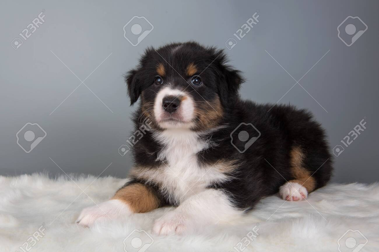 Australian Shepherd Puppy Portrait Dog Tri Color Black Brown Stock Photo Picture And Royalty Free Image Image 146725694
